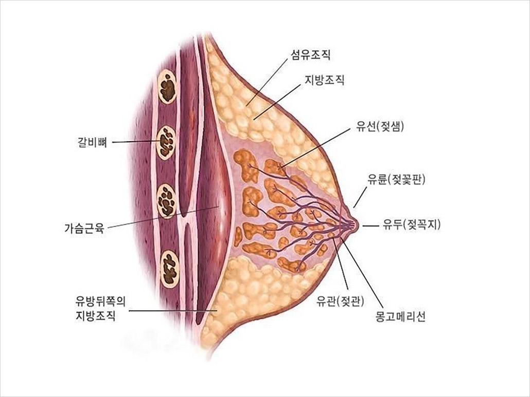 유방의 구조.jpg