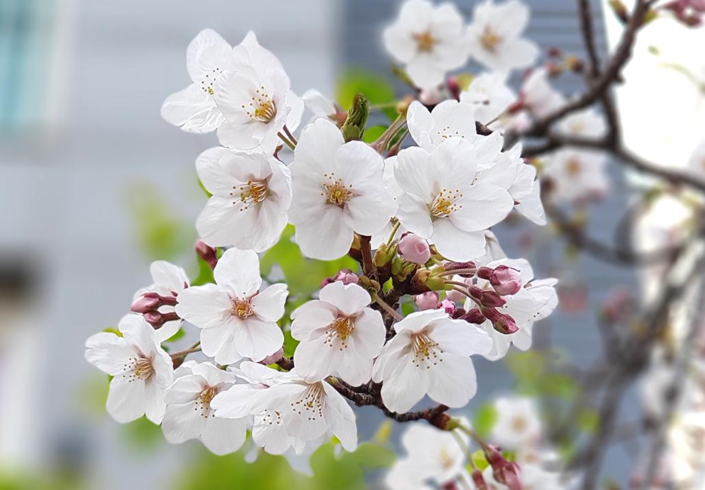 벚꽃.jpg